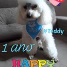dog Teddy